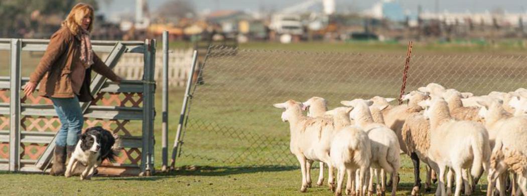 dog herding classes near me